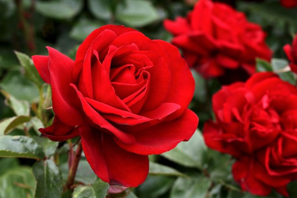 GallipoliCentenaryRose 1024x682 - Top 10 Most Pretty Roses In The World