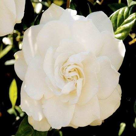 Gardenia Jasminoides Candle Light - Top 10 Most Beautiful Jasmine Flowers