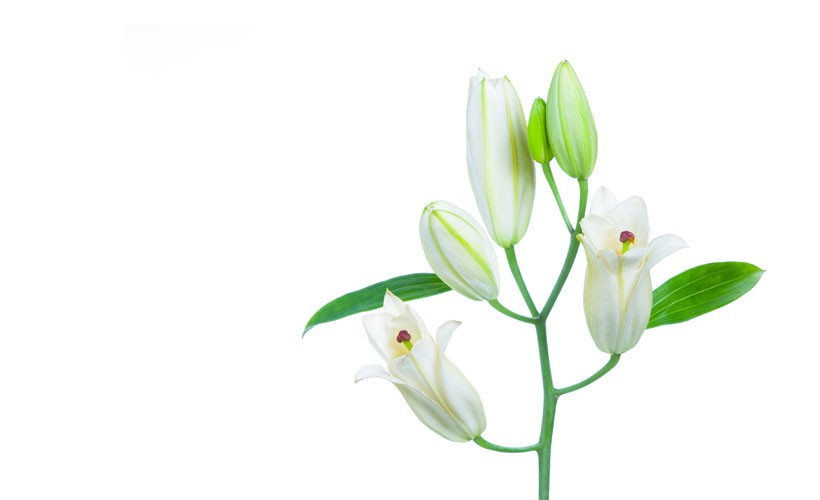 Health And Medicinal Benefits Of White Lily flower - Health And Medicinal Benefits Of White Lily flower