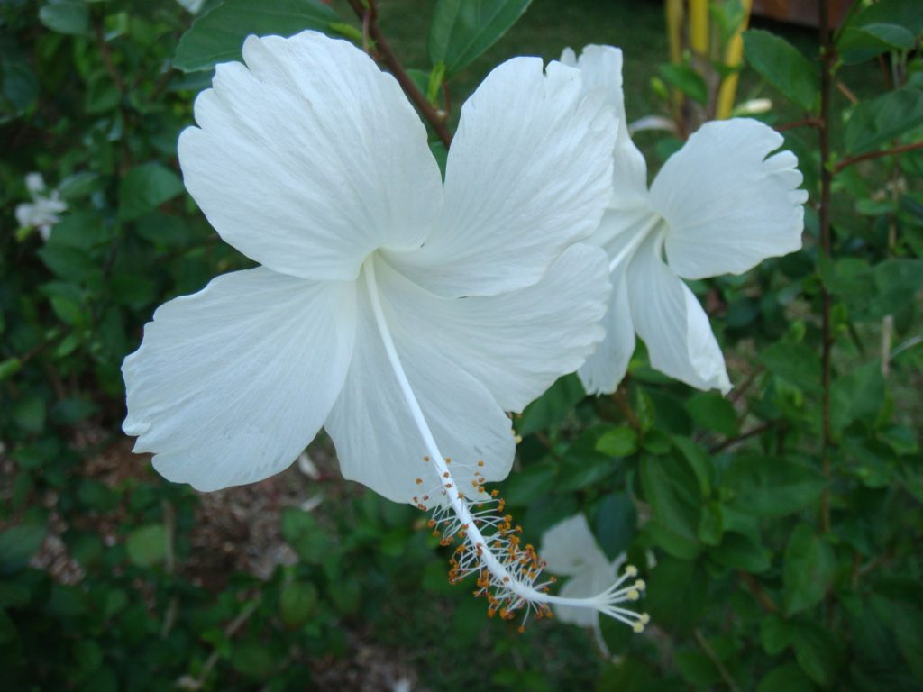 Hibiscus Dainty White 4 1024x768 - 10 Most Loveliest White Flowers In The World