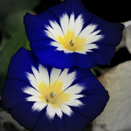 Morning Glories, blue flowers