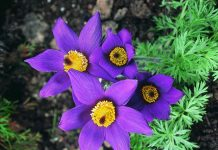 Pulsatilla Health Benefits And Toxicity