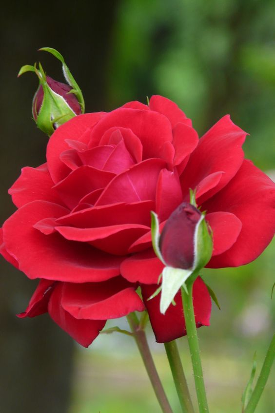 Red rose - Top 10 Most Pretty Roses In The World