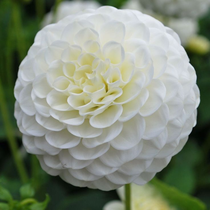 White ball dahlias - 10 Most Loveliest White Flowers In The World