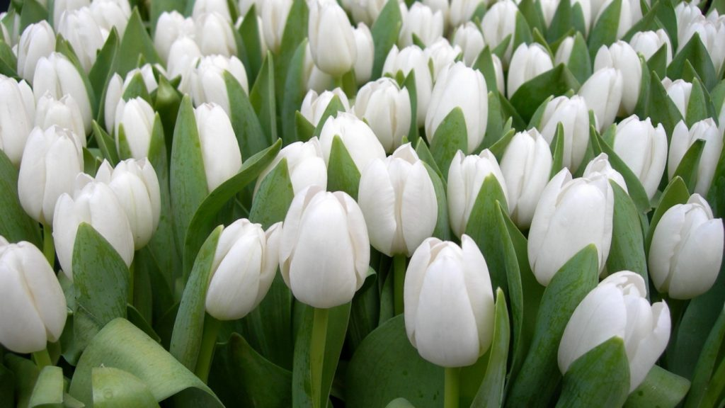 White tulips 1024x576 - 10 Most Loveliest White Flowers In The World