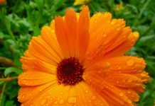 Surprising Health Benefits Of Calendula