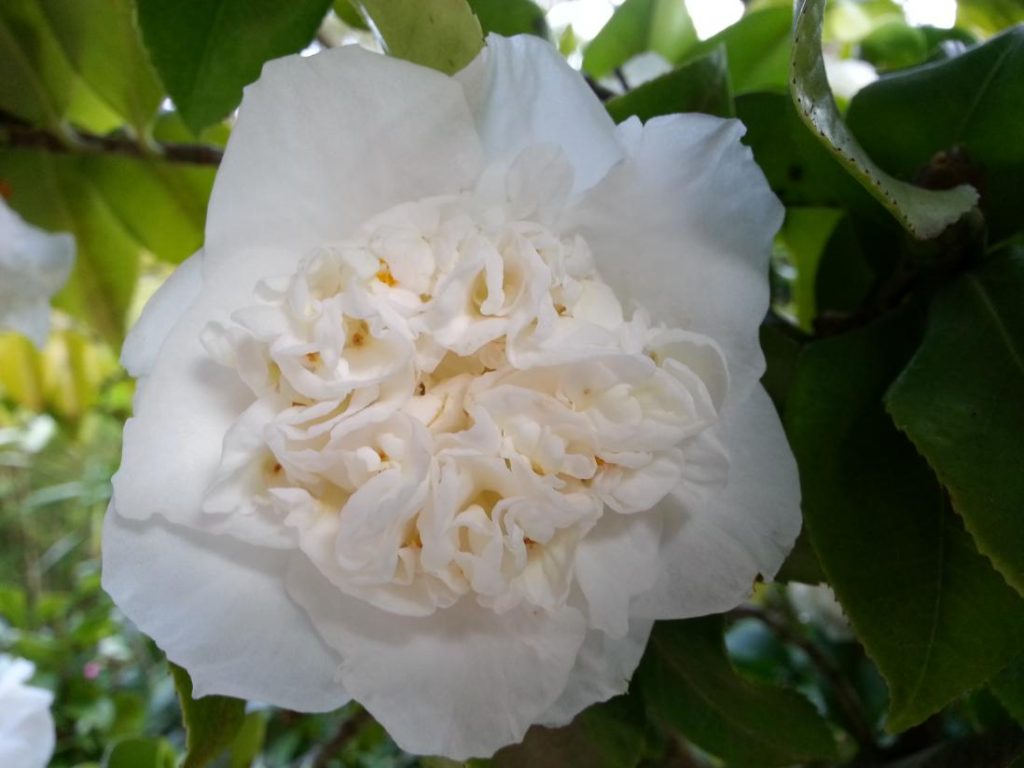 camellia 1024x768 - 10 Most Loveliest White Flowers In The World