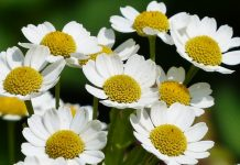 Incredible Health Benefits Of Chamomile