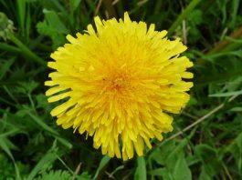 Amazing Health Benefits Of Dandelion