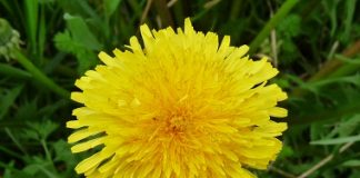 Amazing Health Benefits Of Dandelion