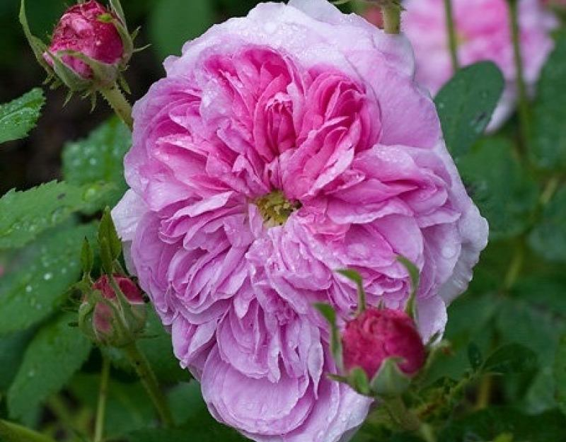 gallica - Top 10 Most Pretty Roses In The World