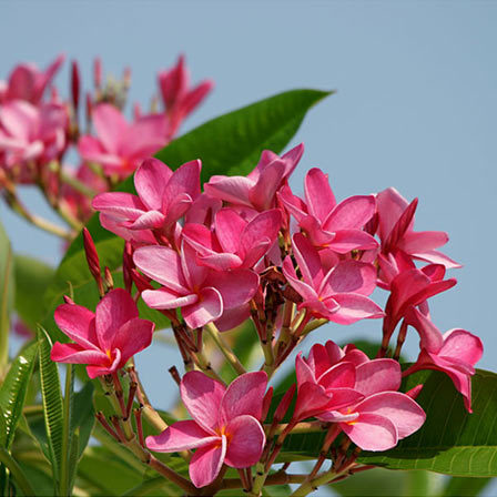plumeria rubra frangipani - Top 10 Most Beautiful Jasmine Flowers