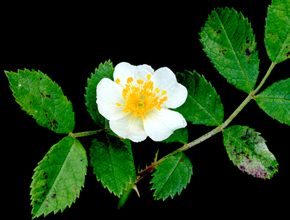 thumb multiflora rose - Top 10 Most Pretty Roses In The World