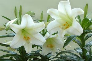 Health And Medicinal Benefits Of White Lily