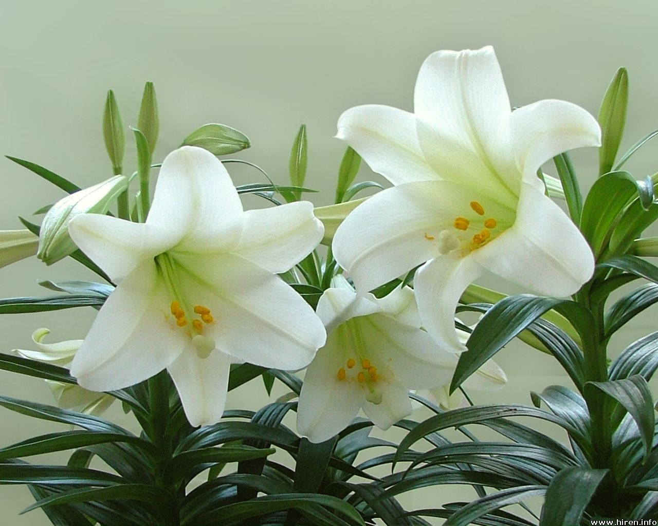 Health and medicinal benefits of white lily flower yabibo izmirmasajfo Gallery