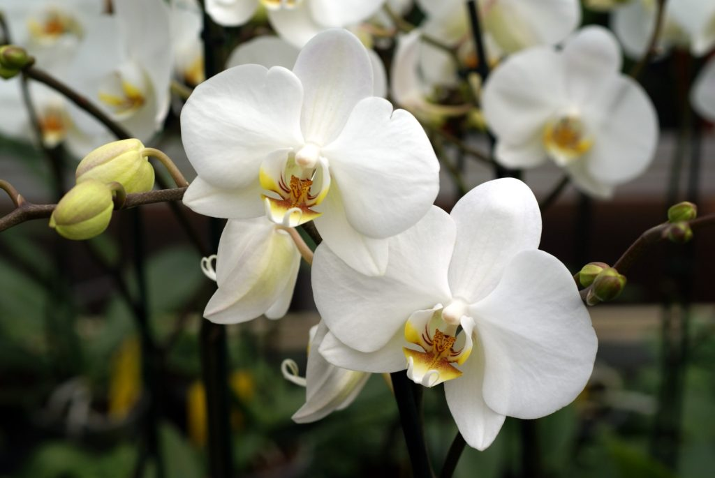 white orchid photo 02283 1024x685 - 10 Most Loveliest White Flowers In The World