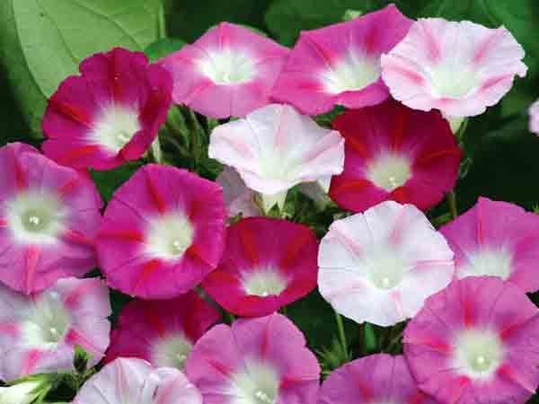 133571 550861e3c6527550861e3c655e - Most Beautiful Morning Glory Flowers