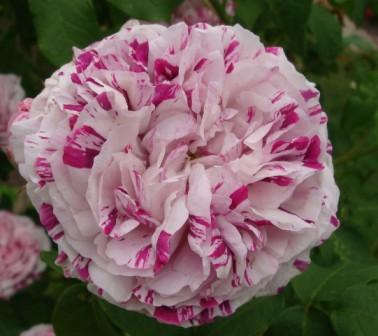 1455553091 - Top 10 Beautiful Pink Roses In The world