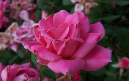 2542 Double Pink Knock Out Rose - Top 10 Beautiful Pink Roses In The world