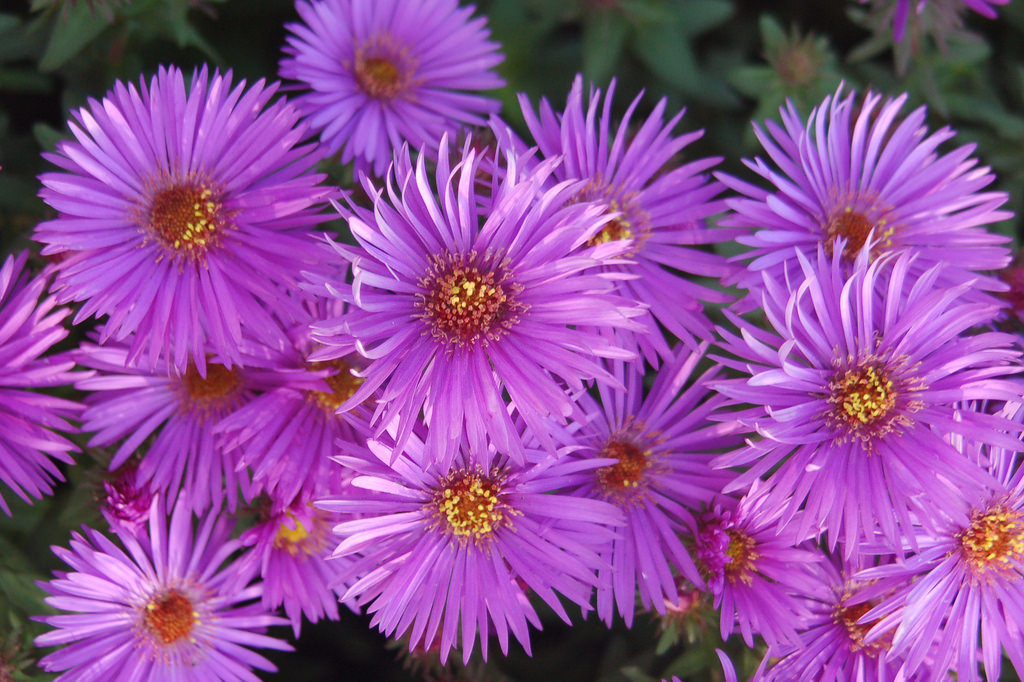 3868231872 d039899360 b 1024x682 - Top 10 Most Beautiful Aster Flowers