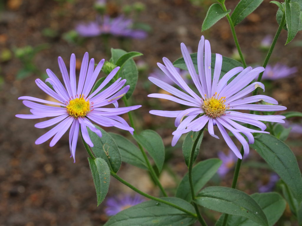 Aster x frikartii Mönch 02 1024x768 - Top 10 Most Beautiful Aster Flowers