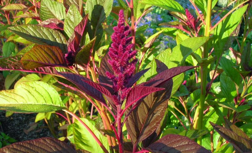 Health Benefits Of Green Amaranth Leaves