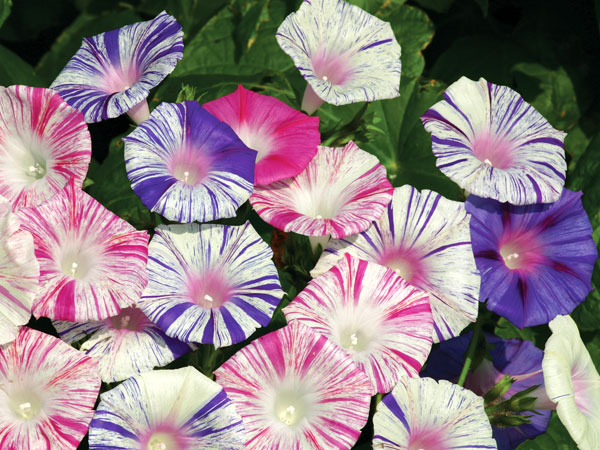 Carnevale di Venezia Morning Glory flowers web fl496 - Most Beautiful Morning Glory Flowers