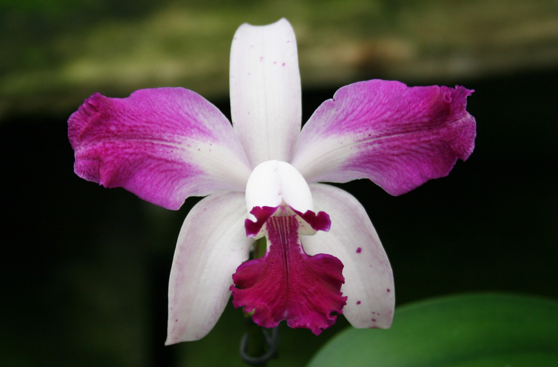 CattleyaInterglossa2 - Beautiful Orchid Flowers In The World