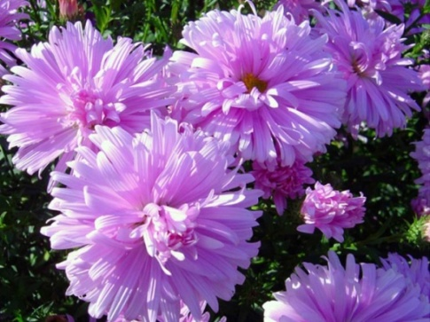 Fellowship aster flowers 1 - Top 10 Most Beautiful Aster Flowers