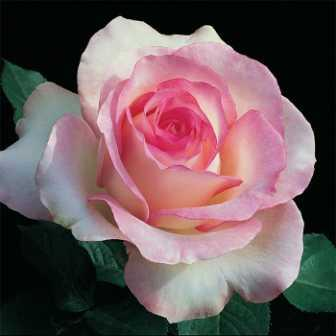 MoonstoneHybridTeaRose - Top 10 Beautiful Pink Roses In The world