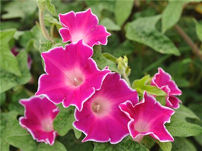 Morning Glory Red Picotee LSS 000 4405 - Most Beautiful Morning Glory Flowers