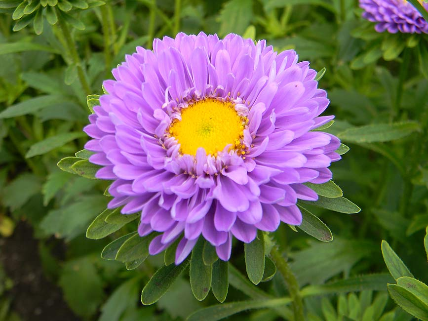 asters - Top 10 Most Beautiful Aster Flowers