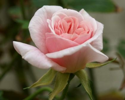 cecile brunner - Top 10 Beautiful Pink Roses In The world