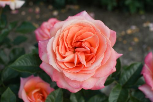 coral down rose - Top 10 Beautiful Pink Roses In The world