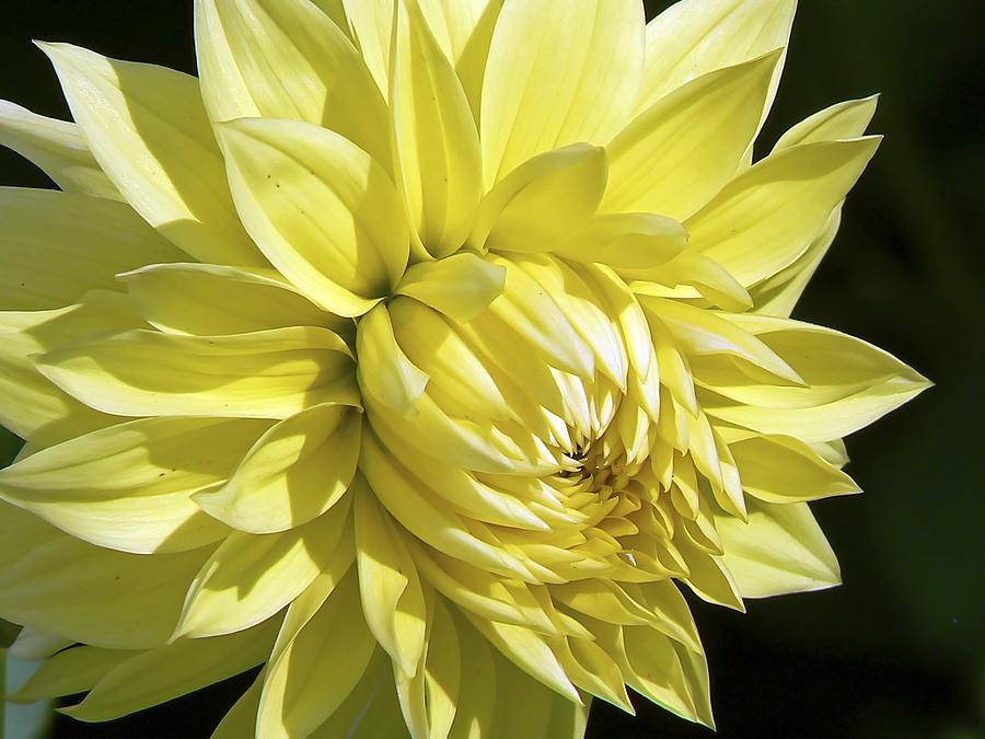 figaro yellow dahlia pamela patch - Top 15 Beautiful Yellow Flowers In The World