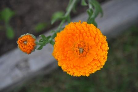 flower 930799 1920 - Top 10 Beautiful Marigold Flowers