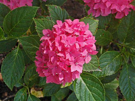 flower hydrangea - Top 10 Most Beautiful Hydrangea Flowers