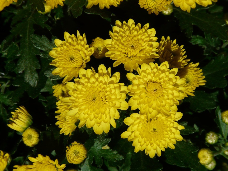 garden chrysanthemum 10368 960 720 - Top 15 Beautiful Yellow Flowers In The World