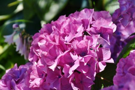 hydrangea Flower 3 - Top 10 Most Beautiful Hydrangea Flowers