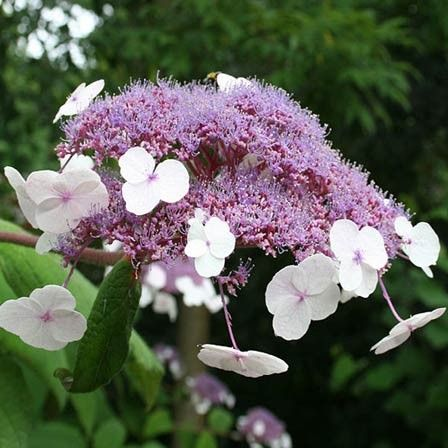 hydrangea flower - Top 10 Most Beautiful Hydrangea Flowers