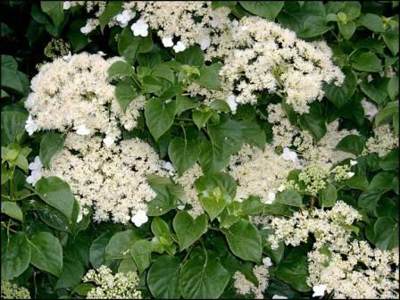 hydrangea flowers 1 - Top 10 Most Beautiful Hydrangea Flowers