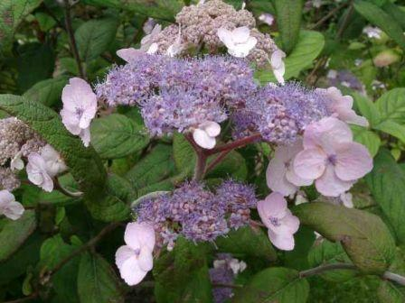 hydrangea flowers 3 - Top 10 Most Beautiful Hydrangea Flowers