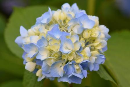 hydrangeas Flowers 1 - Top 10 Most Beautiful Hydrangea Flowers