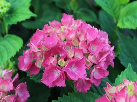 hydrangeas flower - Top 10 Most Beautiful Hydrangea Flowers