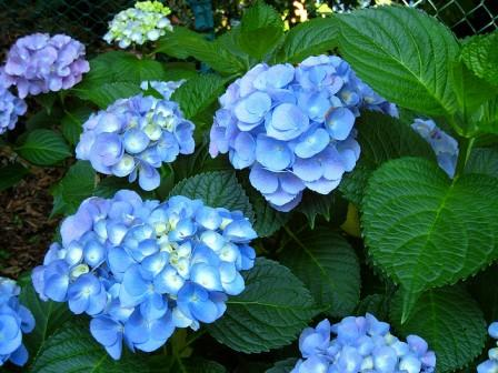 hydrangeas flowers - Top 10 Most Beautiful Hydrangea Flowers