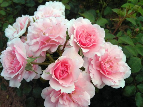 l bonica - Top 10 Beautiful Pink Roses In The world