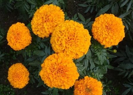 marigold 1239952 1280 - Top 10 Beautiful Marigold Flowers