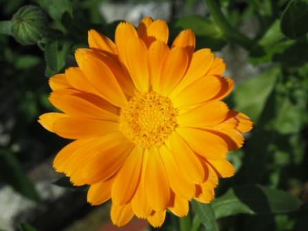 marigold 1501172 1920 - Top 10 Beautiful Marigold Flowers