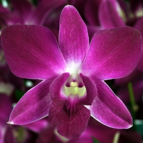 orchidee dendrobium royal ruby - Beautiful Orchid Flowers In The World