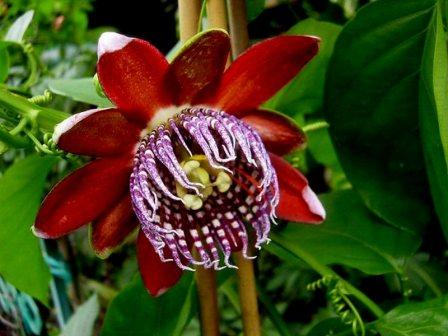 passiflora 1 1 - Most Beautiful Passion Flowers In the World